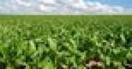 На господдержку сева сахарной свеклы уже выделено 162 млн грн